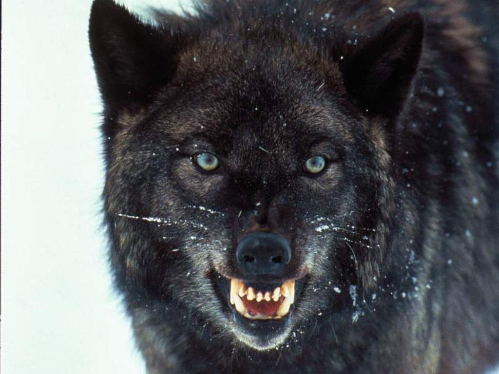 El juego de la ♥ IMAGEN ♥  Wolves_005