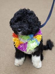 portuguese_water_dog_bo
