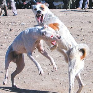 Pit Bulls fighting