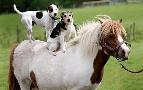 Dogs riding horse