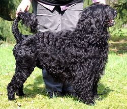 portuguese_water_dog2