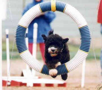 portuguese_water_dog_agility