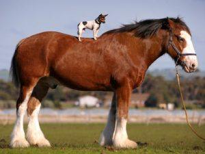 chihuahua-and-horse