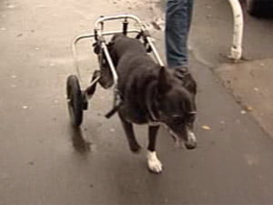 disabled-dog-wheelchair