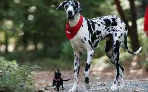 Gibson-tallest-dog