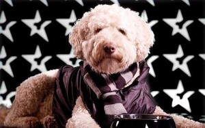celebritylabradoodle