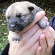 huskinois puppy