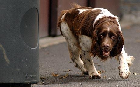 springer spaniel rescue dog