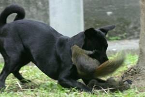 Squirrel attacks dog!