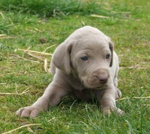 Weimaraner_puppy