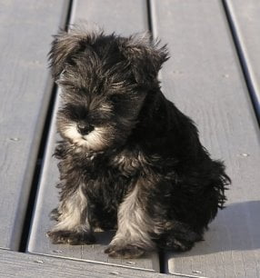 Training a Miniature Schnauzer