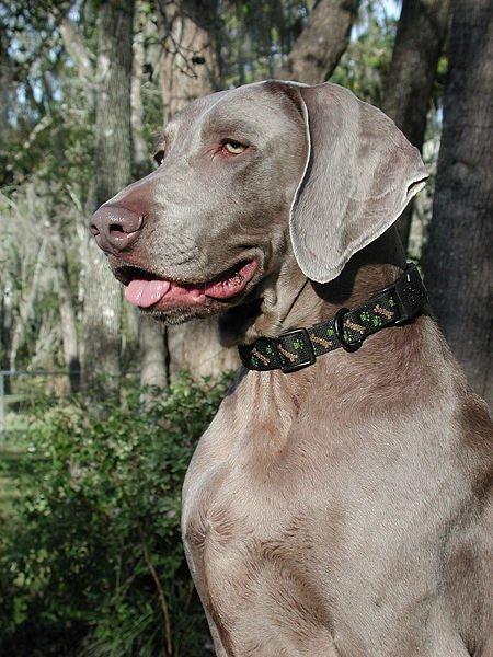 Weimaraner Breed Profile