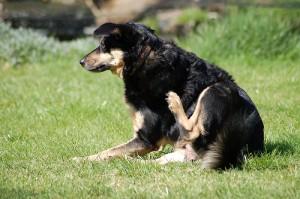 dog_scratching_fleas