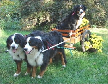 Bernese Mountain Dogs love pulling carts