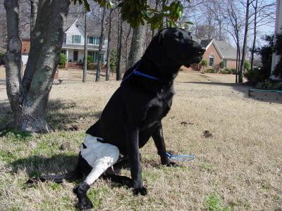 dog with injured leg