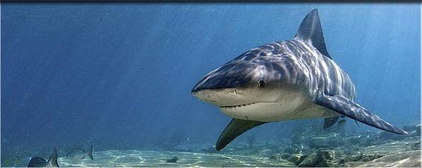 bull shark teeth. Police dog braves shark