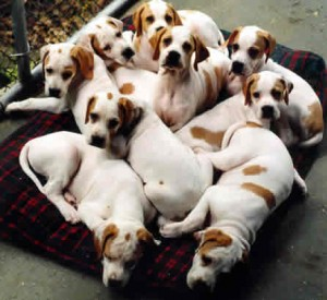 puppies-brown-white-on-blanket