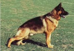 german-shepherd-hip-dysplasia