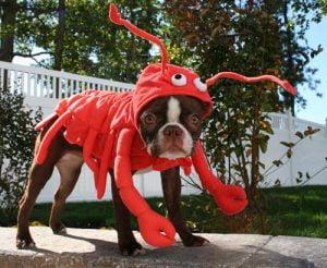 lobster-dog-costume