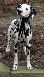 Dalmatian-female