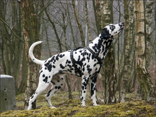 Dalmatian going for a walk