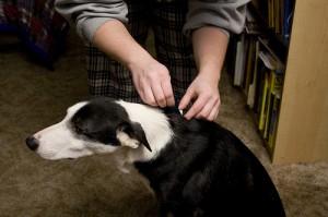 dog-flea-treatment