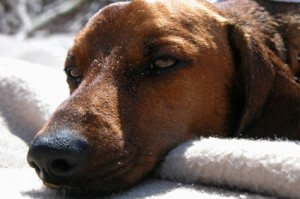 Alternative treatments for dogs