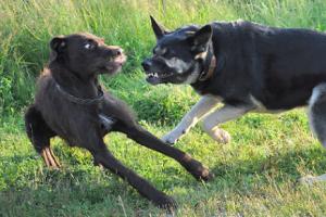 aggressive-dog-training