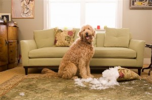 Dog chews furniture