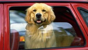 dog-in-car