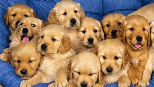 lots-of-puppies