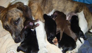 whelping-puppies