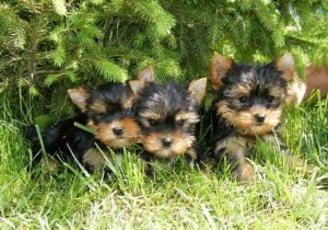 yorkshire-terrier-puppies