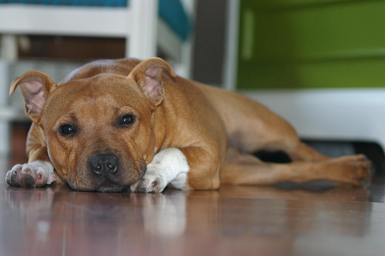 Staffordshire Bull Terrier Stud Dogs