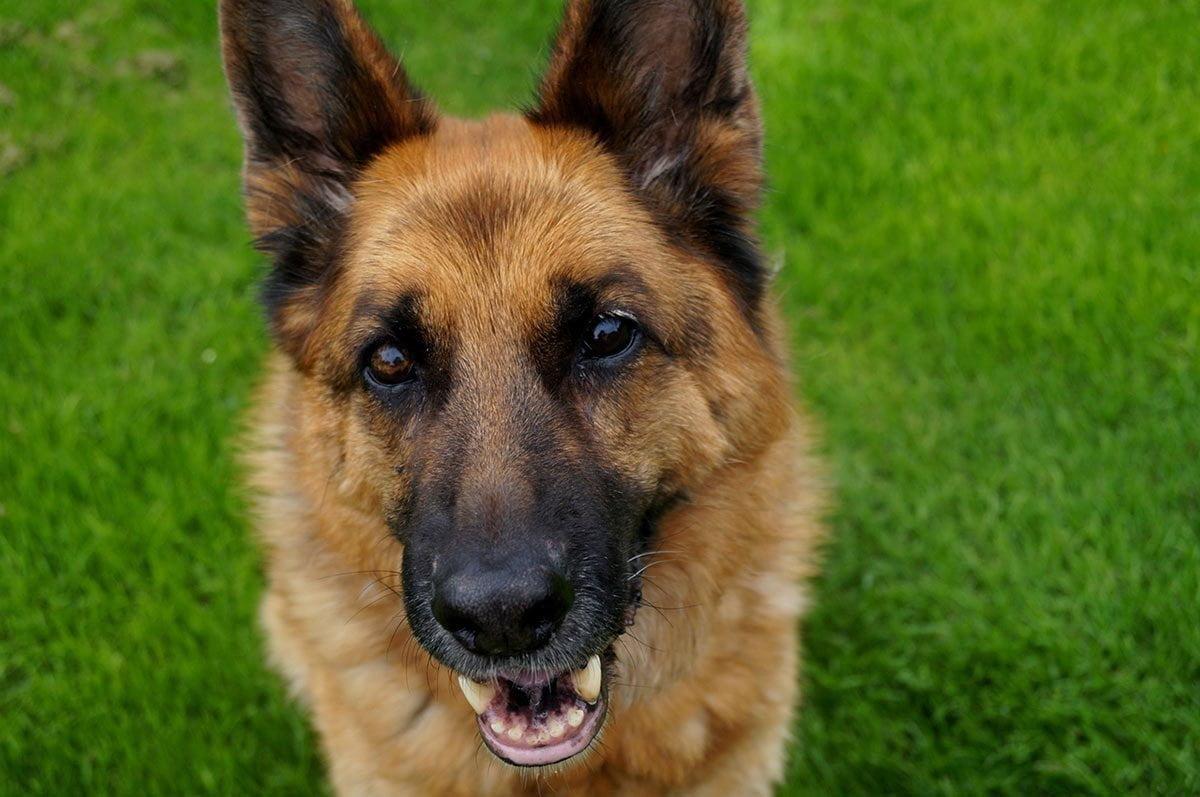 German Shepherd Stud Dogs