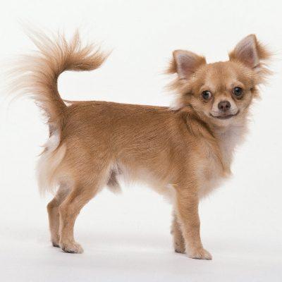 Chihuahua Stud Dogs