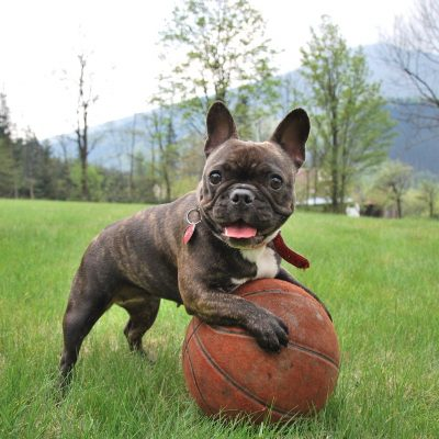 French Bulldog Stud Dogs