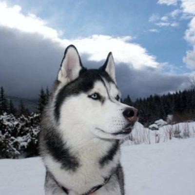 Siberian Husky Stud Dogs